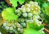 Weintrauben (weiss)