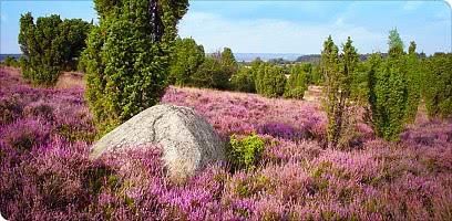 Die blühende Heide