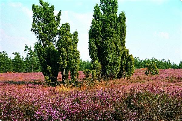 Beauty-Heide